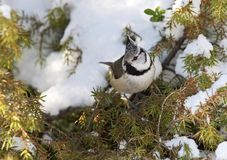 Crested Tit, Kuifmees, Lophophanes cristatus. Crested Tit perched on branch in snow; Kuifmees zittend op tak in sneeuw royalty free stock photography