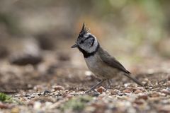 Crested tit perched Royalty Free Stock Image