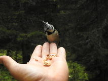 A crested Tit perched on a hand Royalty Free Stock Images