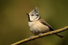 Crested Tit. Stock Image