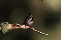 Crested tit perched on the twig Stock Image