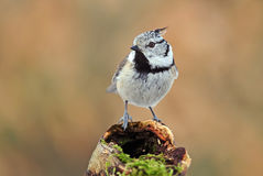 Crested tit Royalty Free Stock Photography