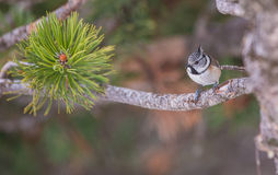 Crested Tit with pine tree needles Stock Photos