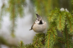 Crested Tit portrait. Cute European Crested Tit on a branch Stock Photography