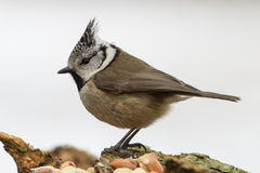 Crested Tit in Profile. With a snowy background Stock Photos