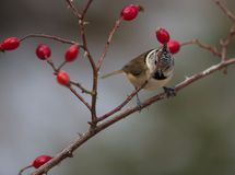 Crested Tit with red fruits Stock Photo