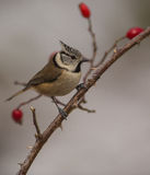 Crested Tit with red fruits. A cute Crested Tit (Lophophanes cristatus) perches on a branch of a wild dog rose plant with the typical red fruits of wintertime Stock Photography