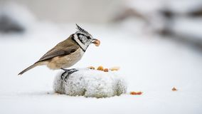 Crested Tit`s catch a peanut. The Crested Tit Parus cristatus in profile with a peanut in the beak a frosty day in Uppland, Sweden    Nikon D810, Nikkor 200 Stock Photography