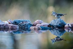 Crested Tit`s reflection. The Crested Tit Parus cristatus perching on the stone reflected on the watersurface of the pond and with a nice defocused background Stock Image