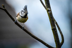 Crested tit from the side. Crested tit on a branch from the side Royalty Free Stock Images