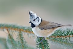 Crested Tit sitting on beautiful lichen branch with clear background. Song bird in the nature habitat. Detail songbird portrait of Stock Image