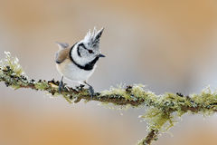 Crested Tit sitting on beautiful lichen branch with clear background. Song bird in the nature habitat. Detail songbird portrait of Royalty Free Stock Photo
