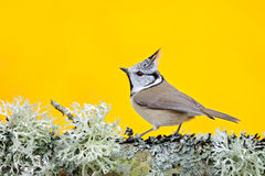 Crested Tit sitting on beautiful lichen branch with clear yellow background. Bird in the nature habitat. Detail portrait of Songbi. Rd Stock Photo