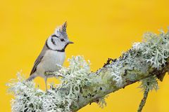 Crested Tit sitting on beautiful lichen branch with clear yellow background. Bird in the nature habitat. Detail portrait of Songbi. Rd Stock Image