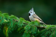 Crested Tit sitting on beautiful lichen branch with clear yellow background. Bird in the nature habitat. Detail portrait of songbi. Rd with crest. Wildlife scene royalty free stock images