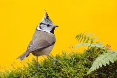 Crested Tit sitting on beautiful lichen branch with clear yellow background. Bird in the nature habitat, fern. Portrait of Songbir. D Stock Photos