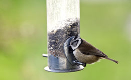 Crested tit. Sitting on a feed dispensers Royalty Free Stock Images