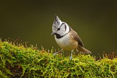 Crested Tit sitting, Songbird on beautiful green moss lichen branch with clear green background. Bird with crest, Czech Republic B. Ird in the nature green moss Stock Photography