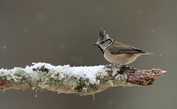 Crested Tit in the Snow Royalty Free Stock Images