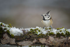 Crested tit. The tiny crested tit inhabits the forests of Europe and is seen here sitting on a branch covered with snow and moss Royalty Free Stock Photos