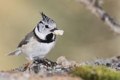 Crested Tit on a tree bark eating a seed. Crested Tit, Lophophanes cristatus (formerly Parus cristatus) on a tree bark eating a seed Royalty Free Stock Images