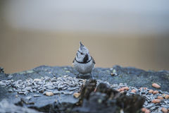 Crested Tit on a tree stump Royalty Free Stock Image