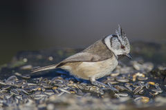 Crested Tit on a tree stump Stock Photos