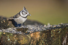 Crested Tit on a tree stump Royalty Free Stock Photography