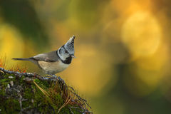 Crested Tit in vivid colors Stock Photography