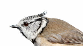 The Crested Tit on a white background. Stock Photo
