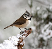 Crested Tit in winter. Crested Tit perching on a snow covered branch Stock Photos