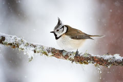 Crested tit in winter while it snows Stock Images