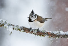 Crested tit in winter while it snows Stock Photography
