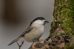 Crested tit in the winter time Stock Photos