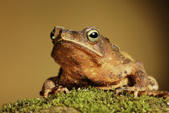 Crested toad amphibian big mouth and eyes  Stock Photos