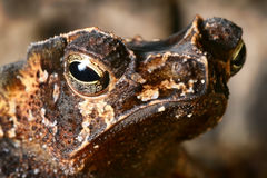 Crested toad amphibian eye tropical animal Stock Photo
