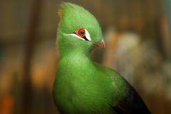 Crested Turaco Royalty Free Stock Photography