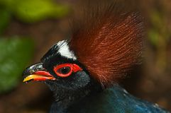 Crested Wood Partridge. Close up of  crested wood partridge (Rollulus rouloul Royalty Free Stock Photo