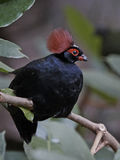 Crested Wood Partridge (Rollulus roulroul) Royalty Free Stock Photo