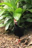 Crested wood partridge Stock Photo
