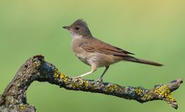Crested Young Common whitethroat posing on small lichen covered branch with clean background in warm light royalty free stock image