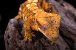 Crestied Gecko. Close-up of Crested Gecko (Rhacodactylus ciliates Stock Images