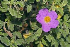 Cretan Cistus. Cistus creticus Royalty Free Stock Photo