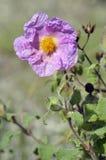 Cretan Cistus. Cistus creticus Stock Photography