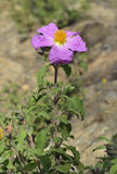 Cretan Cistus. Cistus creticus Stock Photo