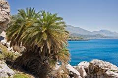 Cretan Daktylowa palma zdjęcie royalty free