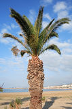 Cretan date palm Phoenix theophrasti Royalty Free Stock Photos