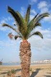 Cretan date palm Phoenix theophrasti. A  Cretan date palm, Phoenix theophrasti,growing beside the Town Beach in Rethymnon, Crete. It is bearing drupes with the Royalty Free Stock Photos