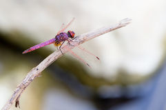 Cretan dragonfly Trithemis annulata Stock Photo