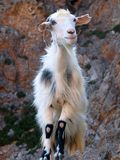 Cretan Goat Stock Images